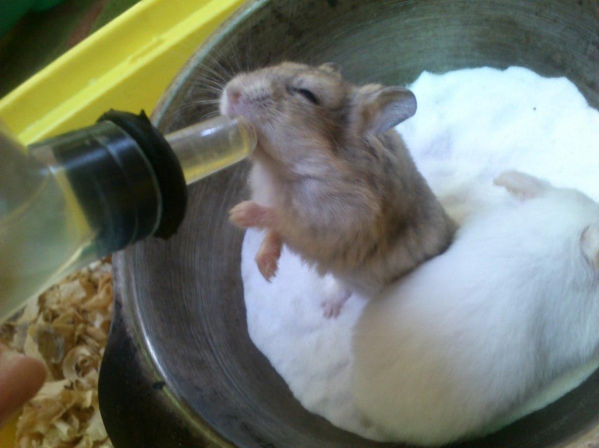 Hamster #6 : Kebiasaan dan Kebutuhan Hamster