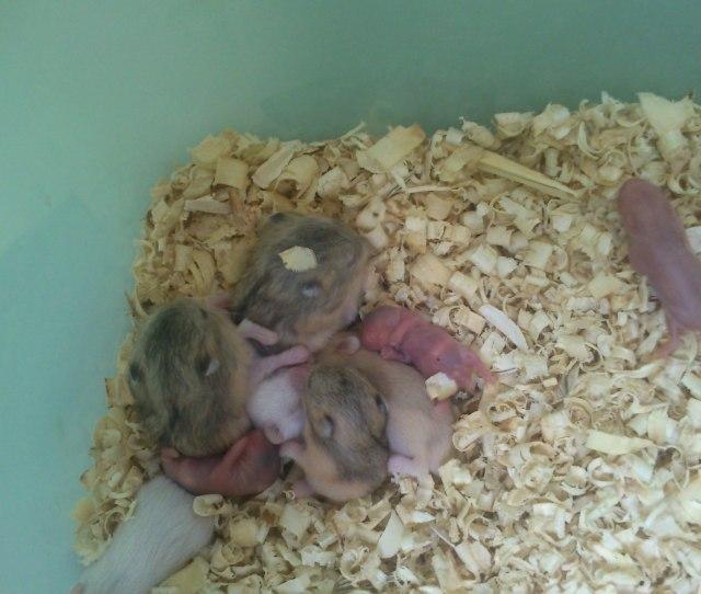 Pisahkan Hamster Jika Memang Sudah Cukup Umur Kotak Yang Kiri Bawah Adalah Hamster Hamster Yang Baru Dipisahkan Berumur  Hari