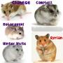 Hamster #1 : Jenis-jenis HamsterCampbell